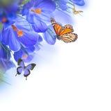 Açafrões da mola com borboleta Foto de Stock
