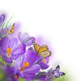 Açafrões da mola com borboleta Fotografia de Stock Royalty Free