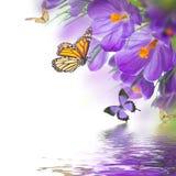 Açafrões da mola com a borboleta, floral Foto de Stock Royalty Free