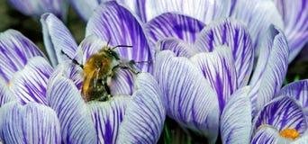 Açafrões da mola e uma abelha Mola adiantada Imagem de Stock Royalty Free