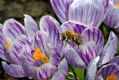 Açafrões da mola e uma abelha Mola adiantada Foto de Stock