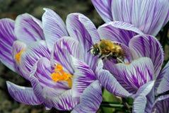 Açafrões da mola e uma abelha Mola adiantada Imagens de Stock