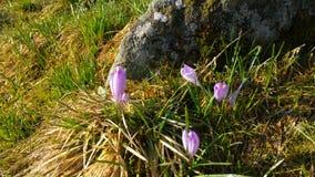 Açafrões da mola em montanhas polonesas de Tatra Fotografia de Stock Royalty Free