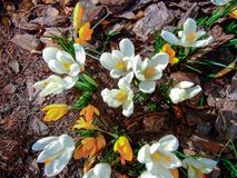 Açafrões da mola em um jardim conífero, cena natural Fotografia de Stock