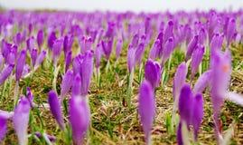 Açafrões da mola em um prado da montanha Fotografia de Stock