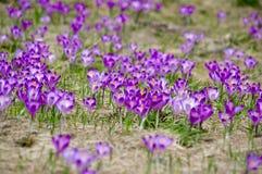 Açafrões da mola em um prado da montanha Fotos de Stock Royalty Free