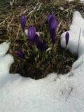 Açafrões da mola entre as folhas e a neve secas da grama e do derretimento Imagem de Stock