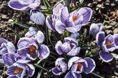 Açafrões da mola - flores de florescência violetas Foto de Stock Royalty Free