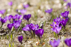 Açafrões da mola na flor Foto de Stock