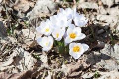 Açafrões da mola na flor Fotografia de Stock