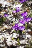 Açafrões da mola na flor Imagens de Stock Royalty Free