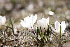 Açafrões da mola na flor Fotografia de Stock Royalty Free