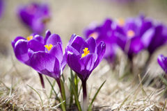 Açafrões da mola na flor Foto de Stock Royalty Free