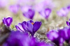 Açafrões da mola na flor Imagem de Stock