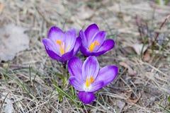 Açafrões da mola na flor - mola Fotografia de Stock Royalty Free