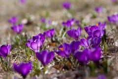 Açafrões da mola na flor - mola Fotografia de Stock