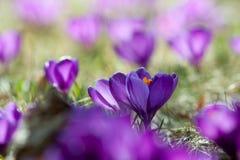 Açafrões da mola na flor - mola Imagens de Stock