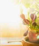 Açafrões da mola na janela na luz solar, foco seletivo Imagem de Stock