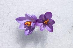 Açafrões da mola na neve Foto de Stock