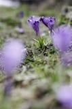 Açafrões da mola na neve de derretimento Imagem de Stock Royalty Free