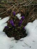 Açafrões da mola na neve de derretimento Imagens de Stock
