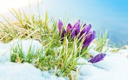 Açafrões da mola na neve de derretimento Foto de Stock Royalty Free