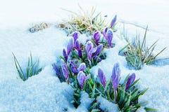Açafrões da mola na neve de derretimento Fotografia de Stock Royalty Free