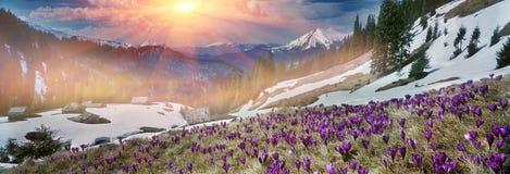 Açafrões da mola nos Carpathians Imagem de Stock