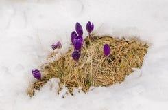 Açafrões da mola que florescem da neve Fotos de Stock
