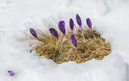 Açafrões da mola que florescem da neve Fotografia de Stock Royalty Free