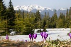 Açafrões da montanha Foto de Stock Royalty Free