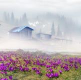 Açafrões da neve Foto de Stock