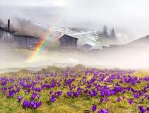 Açafrões da neve Imagens de Stock