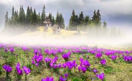 Açafrões da neve Imagens de Stock Royalty Free