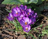 Açafrões da primavera Fotografia de Stock