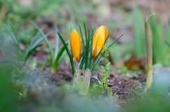 Açafrões das flores Foto de Stock Royalty Free