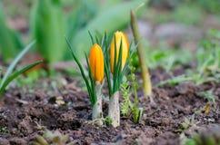 Açafrões das flores Imagens de Stock