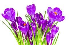 Açafrões das flores fotos de stock royalty free