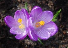 Açafrões das flores Fotografia de Stock