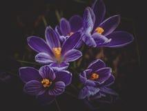 Açafrões das flores Fotografia de Stock Royalty Free