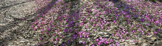 Açafrões de flores da proposta do açafrão Fotografia de Stock