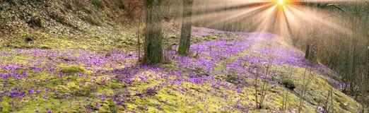 Açafrões de flores da proposta do açafrão Imagem de Stock