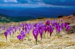 Açafrões de florescência Fotos de Stock Royalty Free