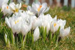 Açafrões de florescência Imagem de Stock