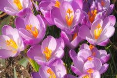 Açafrões de florescência Imagens de Stock