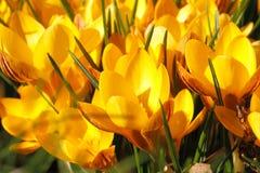 Açafrões de florescência Fotografia de Stock Royalty Free