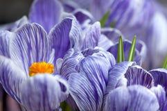 Açafrões de florescência Imagens de Stock Royalty Free
