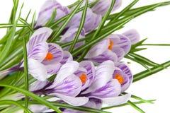Açafrões de florescência Fotos de Stock