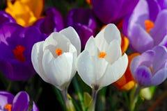 Açafrões de florescência. fotos de stock royalty free
