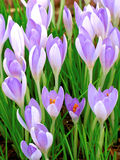 Açafrões de florescência Foto de Stock